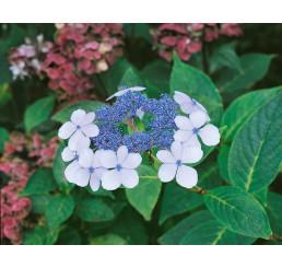 Hydrangea serrata ´BlueBird´ / Hortenzia pílovitá, 20-30 cm, C2