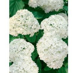 Hydrangea arborescens ´Grandiflora´ / Hortenzia stromčekovitá, 40-50 cm, C3