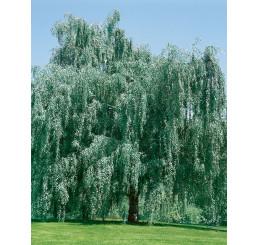 Betula pendula ´Tristis´ / Breza previsnutá, 125-150 cm, C3