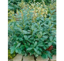 Prunus laurocerasus ´Rotundifolia´ / Vavrínovec lekársky, 15-20 cm, K9