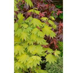 Acer shirasawanum ´Aureum´ / Javor japonský, 30-40 cm, C5