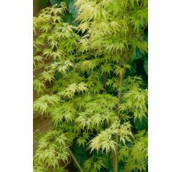 Acer palmatum ´Seiryu´ / Javor dlaňovitolistý, 40-50 cm, C3