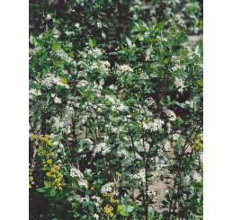 Aronia melanocarpa ´Hugin´ / Arónia čiernoplodá, 80-100 cm, K11