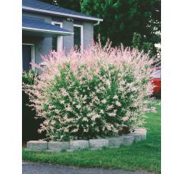 Salix integra ´Hakuro Nishiki´ / Vŕba kompaktná, 40-60 cm, C2