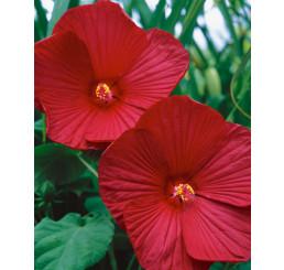 Hibiscus moscheutos ´Oak Red´ / Ibištek bahenný veľkokvetý červený, K17