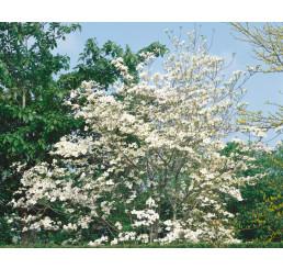 Cornus florida / Drieň kvetnatý, 50-70 cm, C1,5