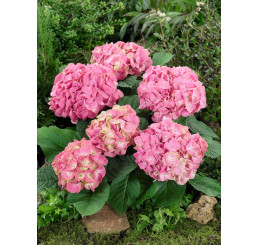 Hydrangea macrophylla ´Pink´ / Hortenzia kalinolistá ružová, 30-40 cm, C2