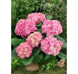Hydrangea macrophylla ´Pink´ / Hortenzia kalinolistá ružová, 10-20 cm, C1,5