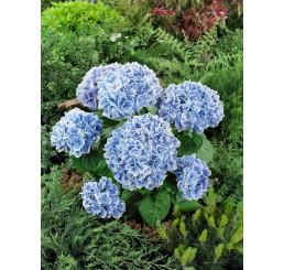 Hydrangea macrophylla ´Peppermint´® / Hortenzia kalinolistá, C2