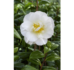 Camellia ´White´ / Kamélia biela, 30-40 cm, C1,5