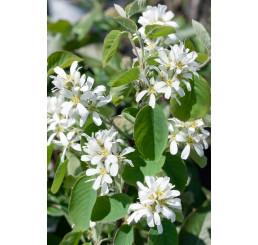 Amelanchier alnifolia ´Honeywood´ / Muchovník, 20-30 cm, K13