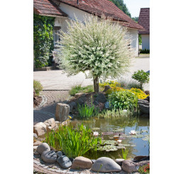 Salix integra ´Hakuro Nishiki´ / Vŕba kompaktná, kmienok 40 cm, C2