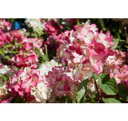 Hydrangea paniculata ´Diamantino´® / Hortenzia metlinatá, C2