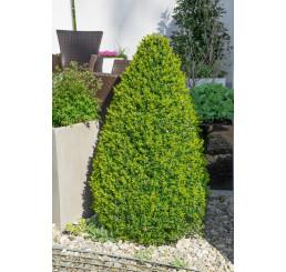 Buxus sempervirens / Krušpán vždyzelený, 12-15 cm, K9