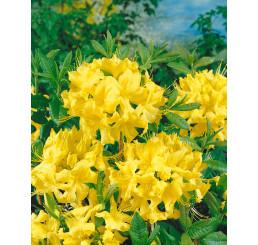 Rhododendron (AK) ´Anneke´ / Rododendrón, C4