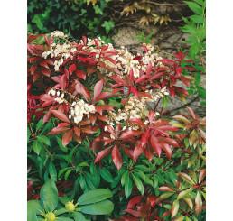 Pieris japonica ´Mountain Fire´ / Pieris japonský, 15-20 cm, K13