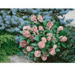 Skimmia japonica ´Rubella´ / Skímia japonská, 20-25 cm, C1,5