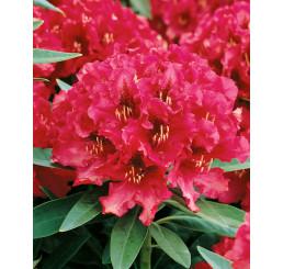 Rhododendron hybr. ´Nova Zembla´  / Rododendrón červený, 20-30 cm, K13