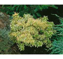Pieris japonica ´Variegata´ / Pieris japonský, 15-20 cm, K13