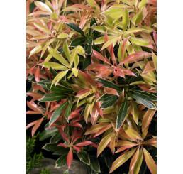 Pieris japonica ´Flaming Silver´, 15-20 cm, K13