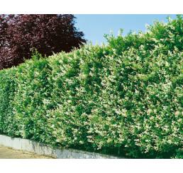 Ligustrum ovalifolium / Vtáčí zob vždyzelený, bal. 10 ks VK na živý plot (5-6 výh.)