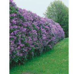 Syringa vulgaris / Orgován obyčajný, bal. 10 ks C1,5 na živý plot