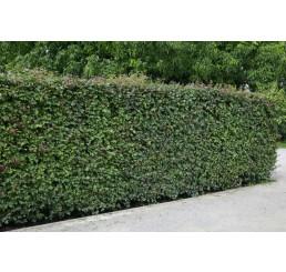 Acer campestre / Javor poľný, bal. 10 ks VK na živý plot