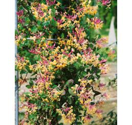 Lonicera caprifolium / Zemolez kozí, 80 cm, C2
