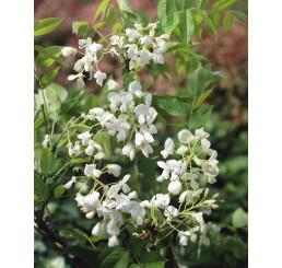 Wisteria sinensis ´Alba´ / Vistéria biela, 50-60 cm, C2