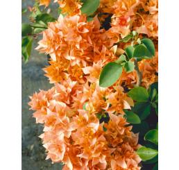 Bougainvilea glabra ´Orange´ / Bugénvilea oranžová, K9