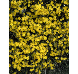 Jasminum nudiflorum / Jazmín nahokvetý, 10-15 cm, K9