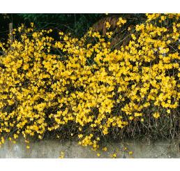 Jasminum nudiflorum / Jazmín nahokvetý, 50-60 cm, C1,5