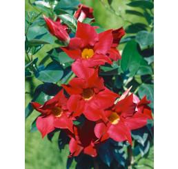 Mandevilla Sundaville® Classic Red/ Mandevila červená, 40 cm vyviazaná, C2