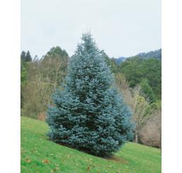 Abies concolor / Jedľa srienistá, 10-15 cm, K9
