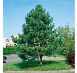 Pinus nigra ´Nigra´ / Borovica čierna, 30-40 cm, C1,5