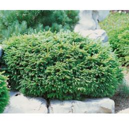 Picea abies ´Nidiformis´ / Smrek , 12-15 cm, C1,5