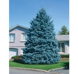 Picea pungens ´Glauca´ / Smrek pichľavý, 50-60 cm, C5