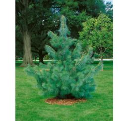 Pinus wallichiana / Borovica himalájska, 20-30 cm, K9