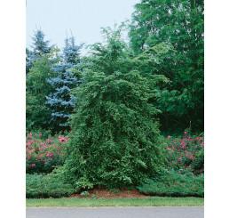 Tsuga canadensis / Jedľovec kanadský, 40-50 cm, C3