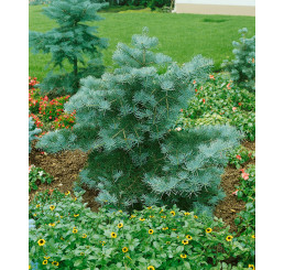 Abies concolor ´Compacta´ / Jedľa srienistá, 10-15 cm, K9