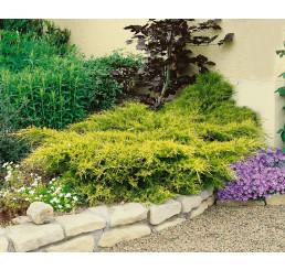 Juniperus chinensis ´Old Gold ´ / Borievka čínska, 10-15 cm, K9
