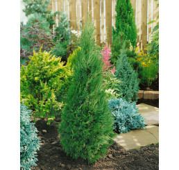 Juniperus chinensis ´Spartan´ / Borievka, K11