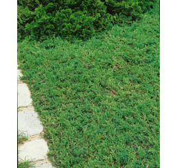 Juniperus communis ´Green Carpet´ / Borievka, 10-15 cm, K13