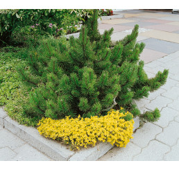 Pinus mugo mughus / Kosodrevina, 15-20 cm, K9