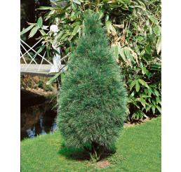 Pinus strobus ´Fastigiata´ / Borovica hladká, 10-15 cm, C1,5