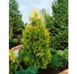Thuja occidentalis 'Europa Gold' / Tuja, 15 - 20 cm, K9