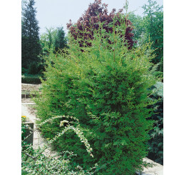 Cupressocyparis leylandii ´Green´ / Cyprusovec leylandský, bal. 10 ks na živý plot, 25-30 cm, 10xK9