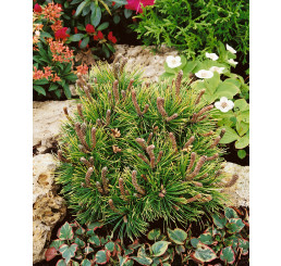 Pinus mugo ´Ophir´ / Kosodrevina, 30-40 cm, C3