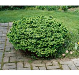 Abies balsamea 'Nana´ / Jedľa balzamová, 20-25 cm, C5