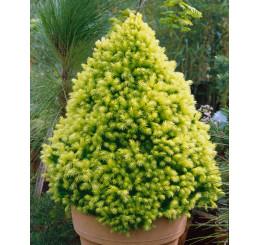 Picea glauca ´Daisy´s White´ / Smrek, 30-40 cm, C3